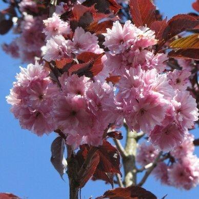 "Dekoratyvioji vyšnia/ Sakura ""Royal - Burgundy"" 3"