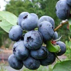 Šilauogė aukštoji ''Bluecrop''