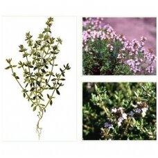 Vaistinis čiobrelis (thymus vulgaris) P9