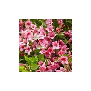 Veigelė gražiažiedė ''Picobella® Rosa''