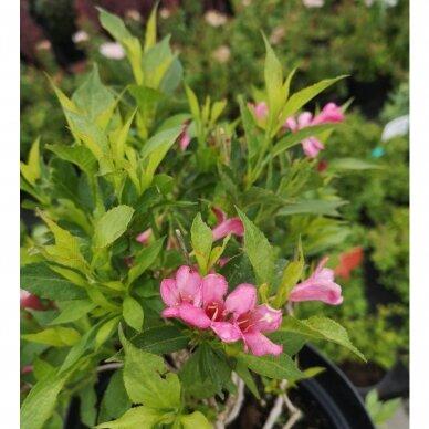 Veigelė gražiažiedė ''Picobella® Rosa'' 3