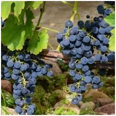Vynuogė 'Cabernet Cantor'