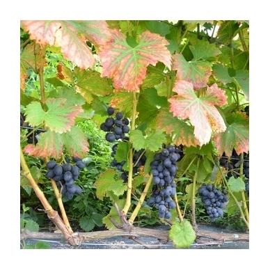 Vynuogė 'Cabernet Cantor' 3