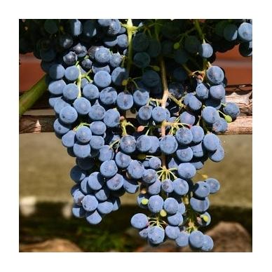 Vynuogė ''Cabernet Cantor'' 2