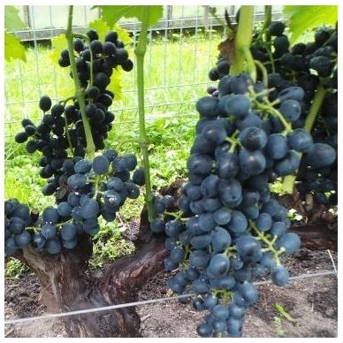 """Vynuogė ''Maréchal Foch'blue"""" 4"""