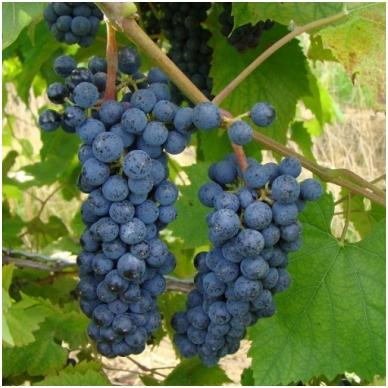 Vynuogė 'Maréchal Foch'blue
