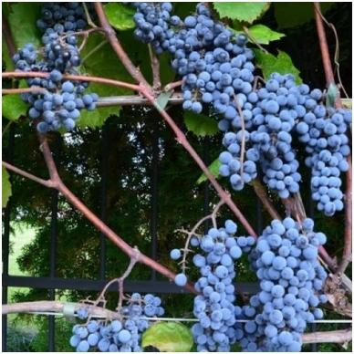 Vynuogė 'Maréchal Foch'blue 2
