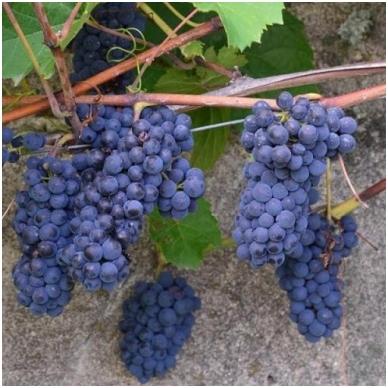Vynuogė 'Maréchal Foch'blue 3